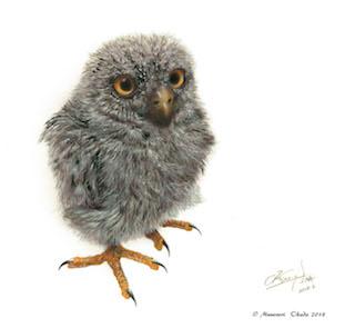 羽毛の空気感を表現 リュウキュウアオバズク雛  「在」.jpg